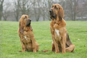 bloodhound_0014